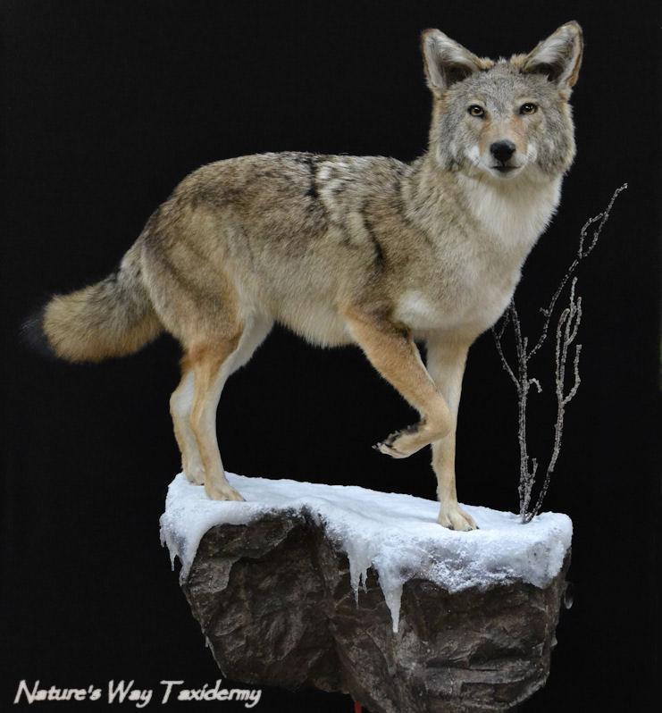 coyote3-black.jpg