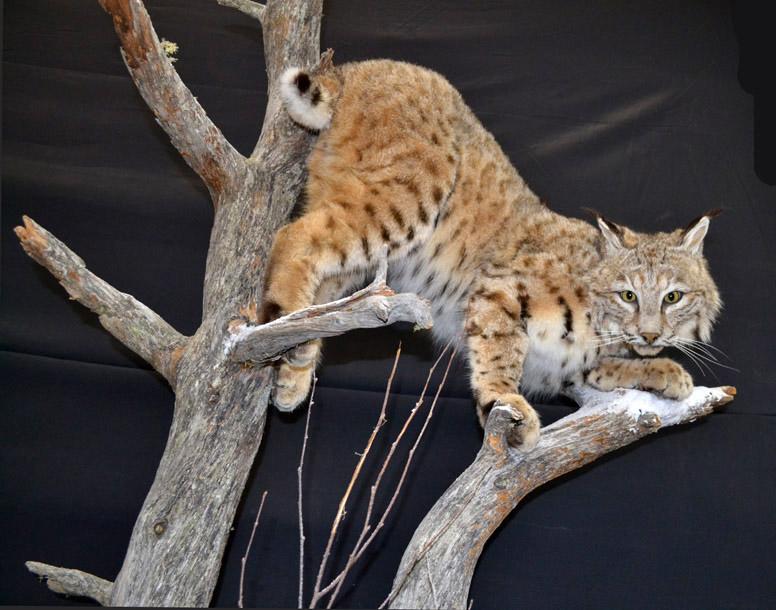 life size bobcat