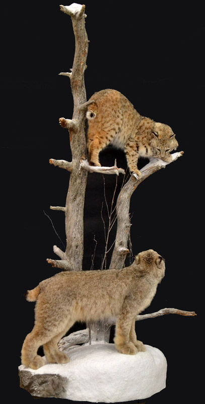 pedestal bobcat and lynx