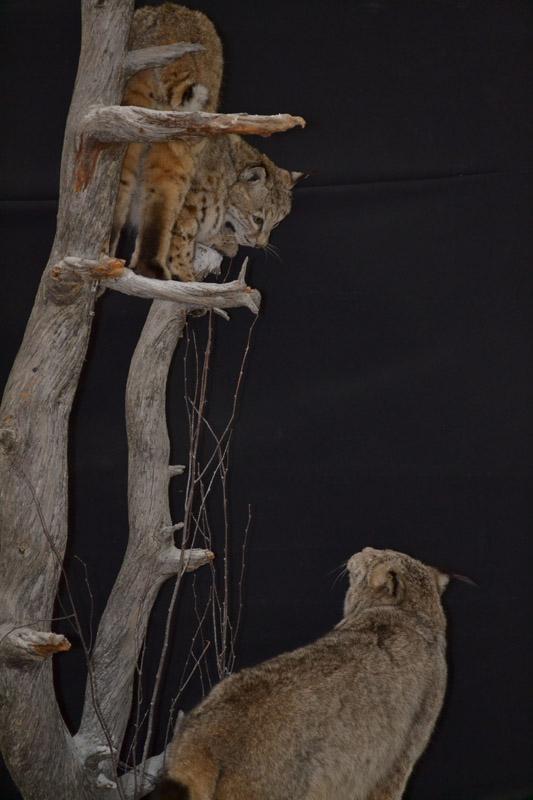 bobcat and lynx