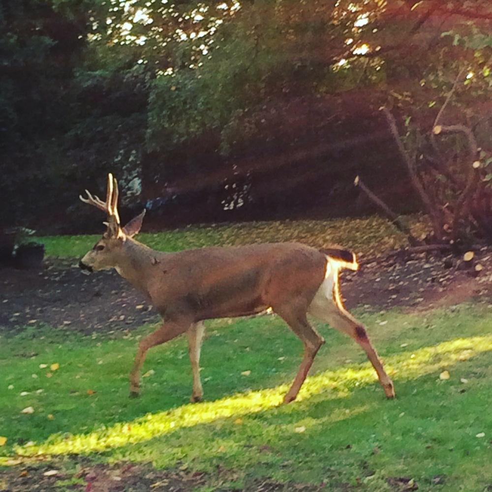 Our neighbourhood buck