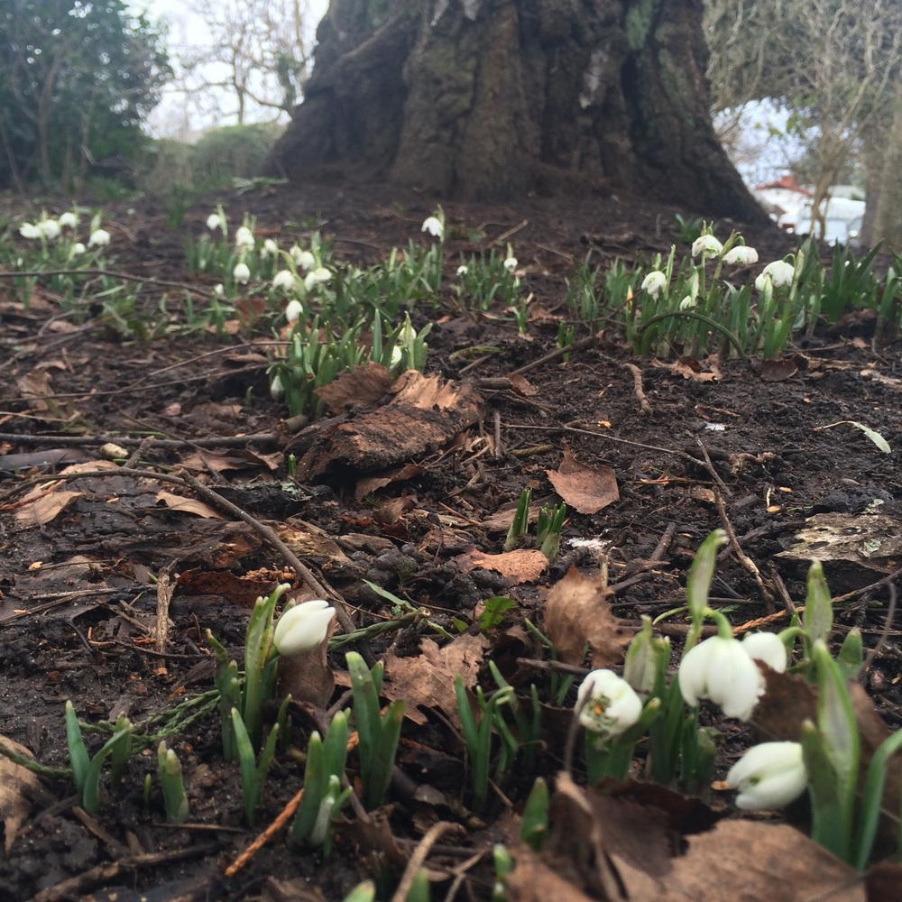 Snowdrops, the first bulbs to push through and bloom