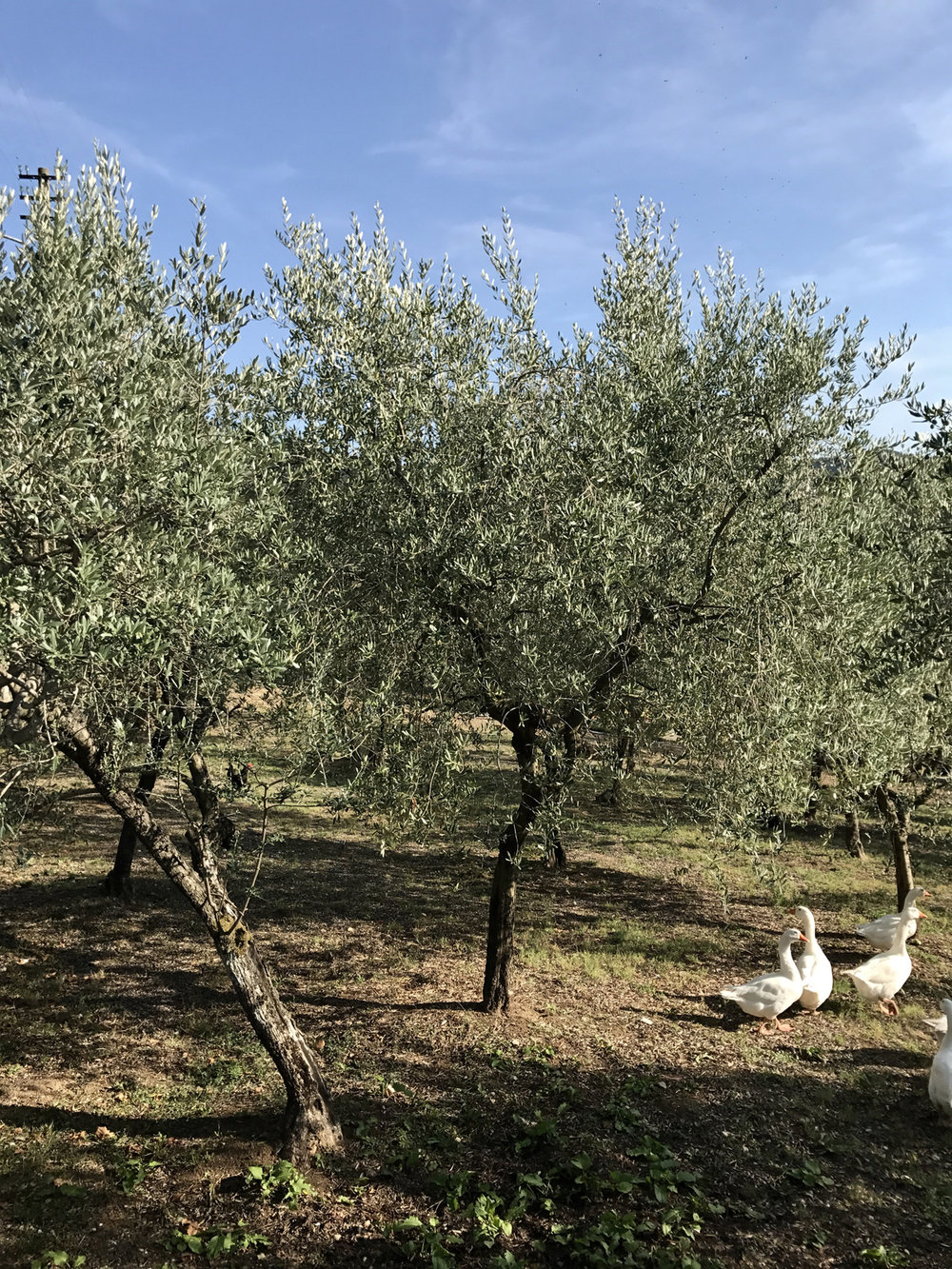 Olive groves on the way to Collestatte  Below: Student work