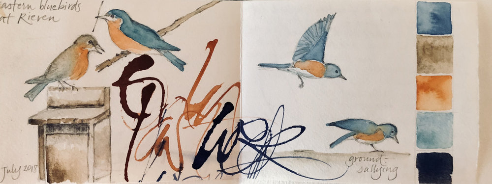 Eastern bluebirds  ground-sallying:  L Doctor sketchbook (on scrap with writing on it)