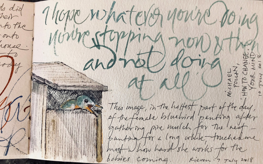 Female bluebird pausing and panting after collecting pine needles in the heat for her nest. – L Doctor sketchbook