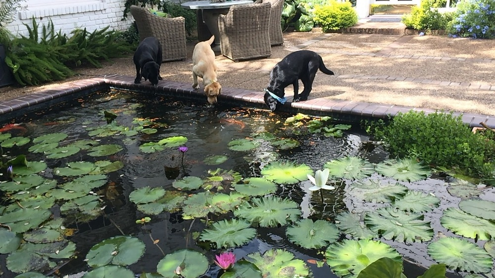 Goose, Tobi and Sparrow love to help feed the fish.