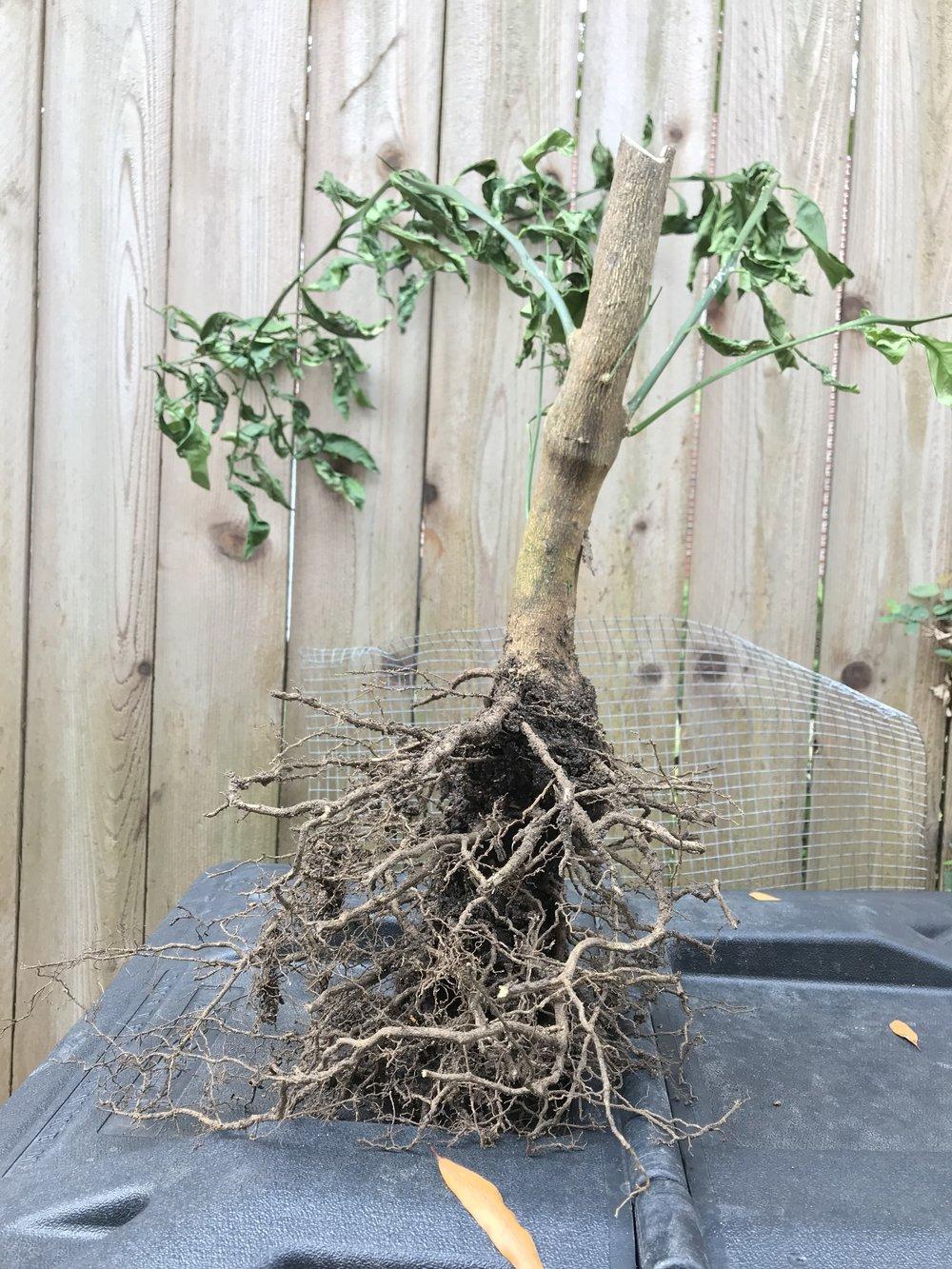What is left of my diseased tree.