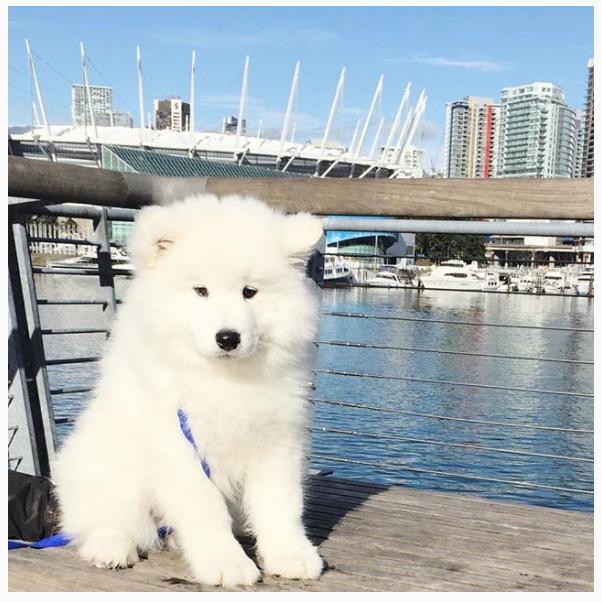Samoyed Puppy Vancouver