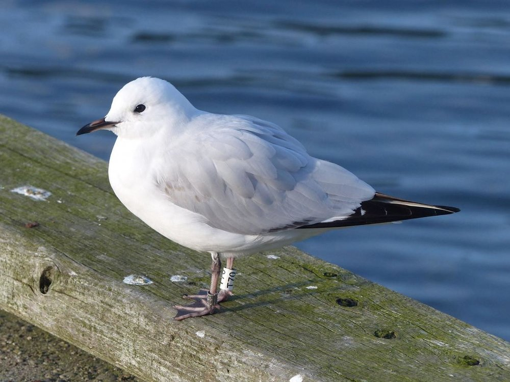 Black-billed Gull (Source: http://nzbirdsonline.org.nz/species/black-billed-gull)