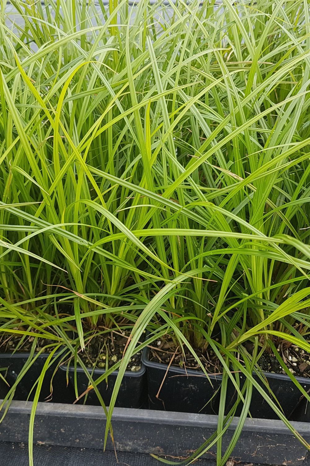 Carex Lessoniana