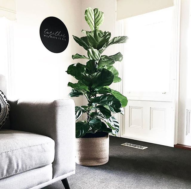 "Green glossy fiddle leaf leaves 🍃 If only I could claim this beauty as mine. @littlebrickhome you've outdone yourself! Hung high is our ""Together we have it all"" printed pin board. The perfect choice when the brief is art + functionality. Available online now 🖤 📸 @littlebrickhome"