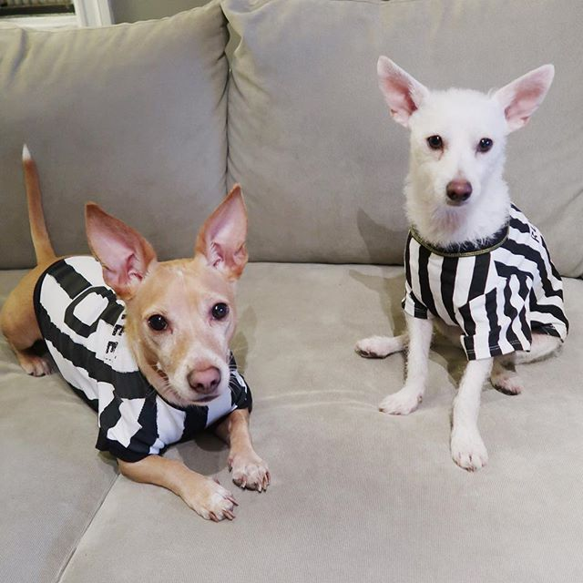 Happy Halloween from these two foster brother RUFFerees (penalties include eating too many treats, taking too many naps & having ears that are too big {not really though because LOOK at these incredible ears twins 🐕 🐩}) Kiva is up for adoption from @socialteesnyc #adoptdontshop #rescuedog #doghalloweencostume #doghalloween #halloweendog #halloweencostume #hudsonpuppup