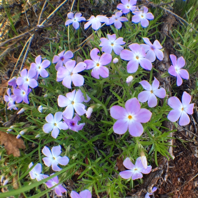 Multiflowered Phlox
