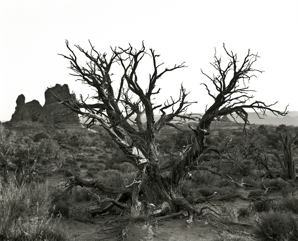 Juniper Tree in Arches National Park.