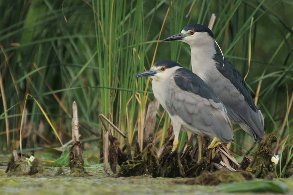 A couple of cooperative Black Crowned Night Herons today at Lake St Clair Metropark. Shot from a paddle board. Photo taken by our instructor and guide: Jeremy Miller.
