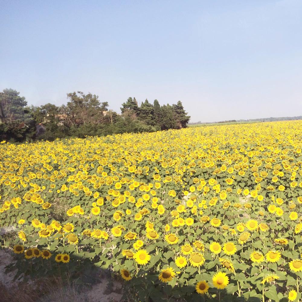 IMG_0534_Sunflower.jpg