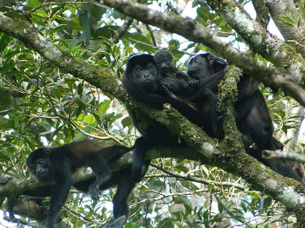 Howler monkeys in the trees