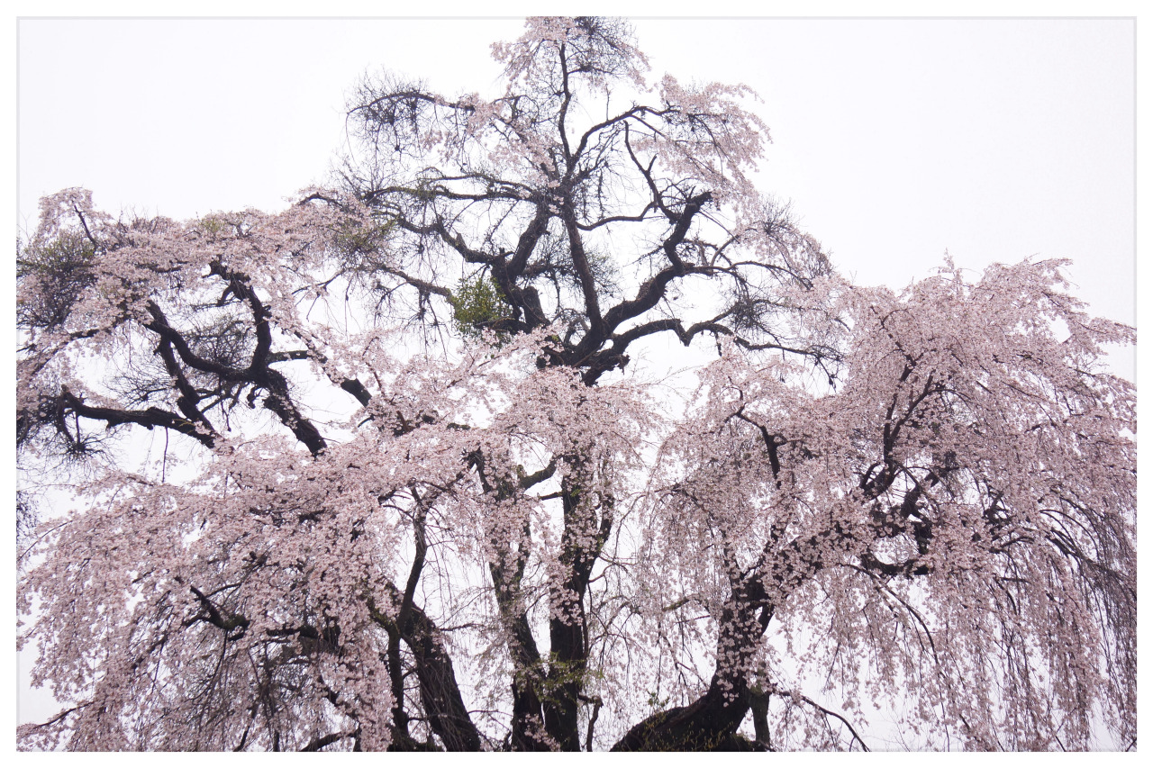 cinoh: ryuyatachikawa: old sakura tree