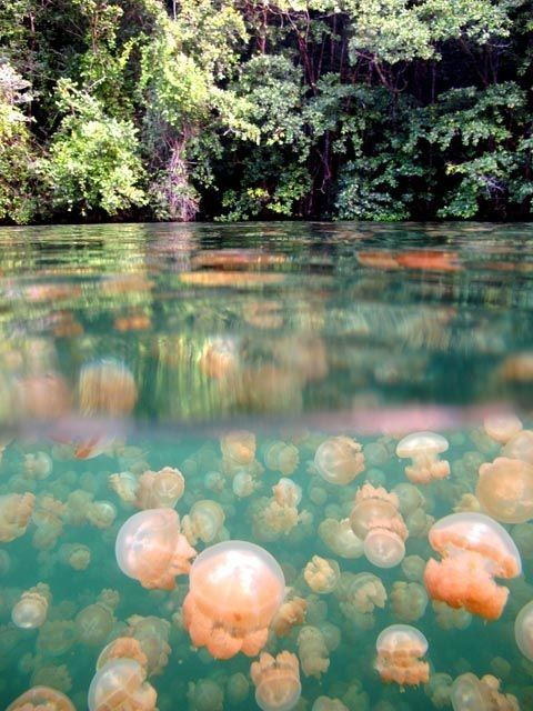 momamiaaa: Jellyfish Lake in Palau. Apparently the jellies have lost their ability to sting because of lack of predators in the lake and you can swim with them!