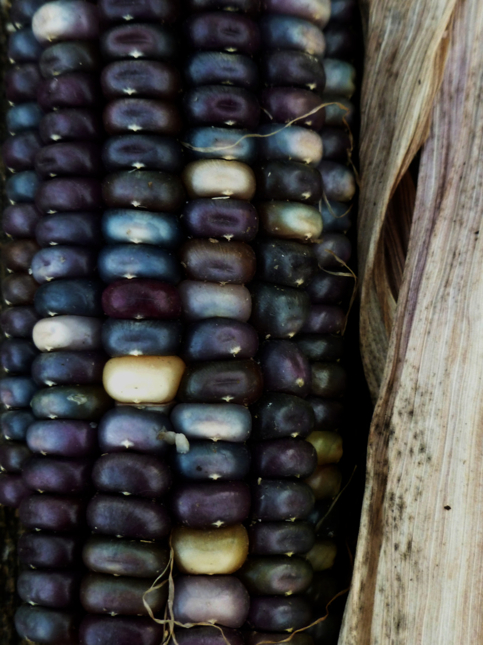 laurajwryan :      Blue Corn , 11/26/2011