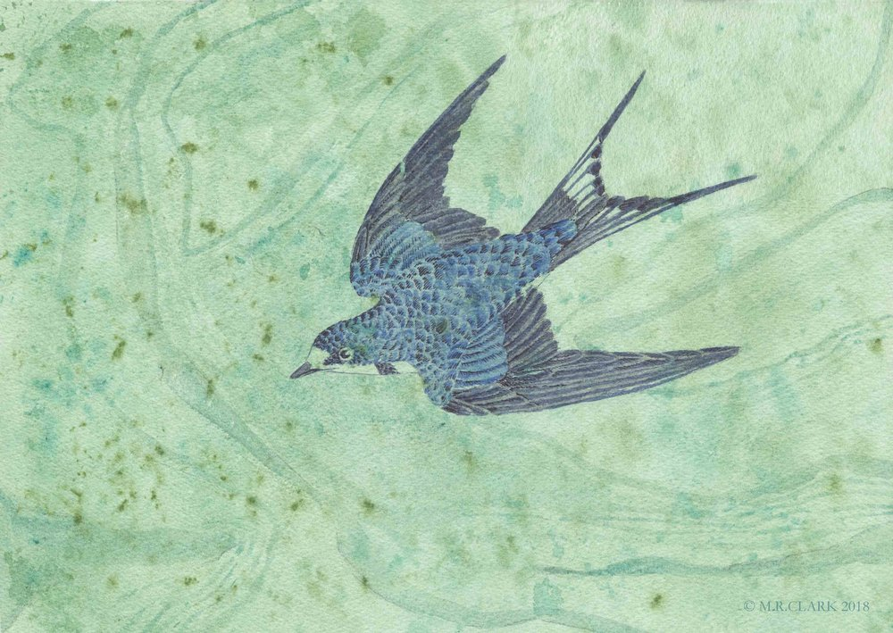 Blue Swallow