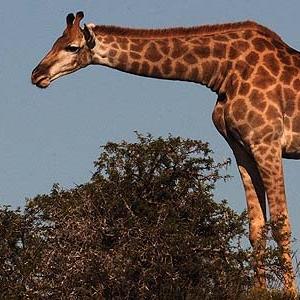 1-giraffe-gc590a.jpg