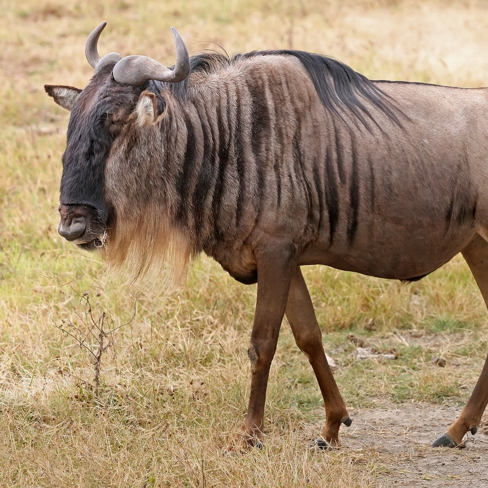 Blue_Wildebeest,_Ngorongoro.jpg