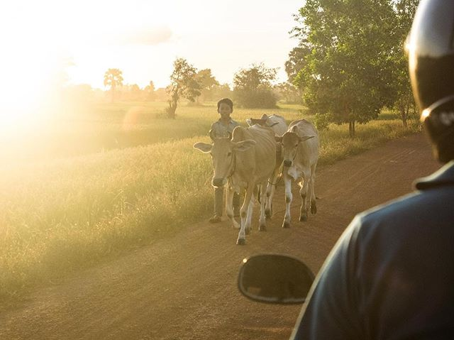 A boy walks his herd along a dirt road close to Siem Reap, in northern Cambodia. Agriculture is estimated to account for over 90% of Cambodia's GDP. #cambodia #siemreap #sunset #tuktuk #shepherd #cowboy #travel #southeastasia #agriculture