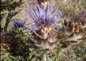 A cardoon thistle. The purple stamens are used as a coagulant.