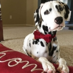 @Jackson_the_dalmatian 40,000 Followers