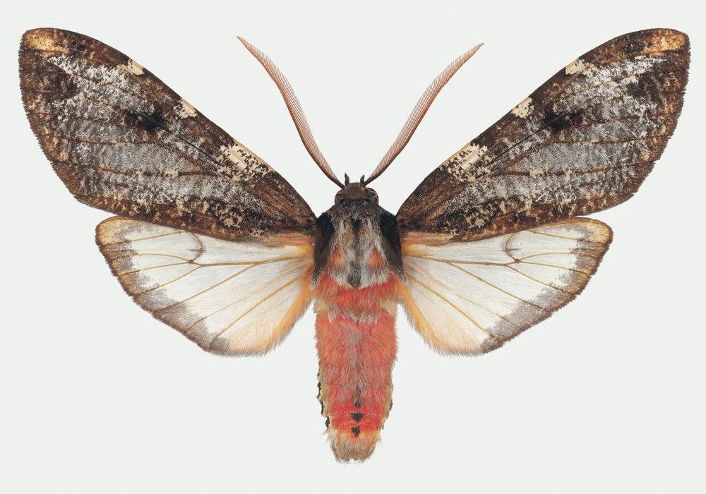 Pseudohemihyalea sp.jpg