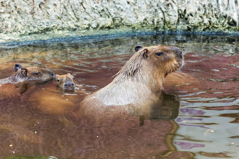 8 Capybaras and the Shameful Acts They Have Committed