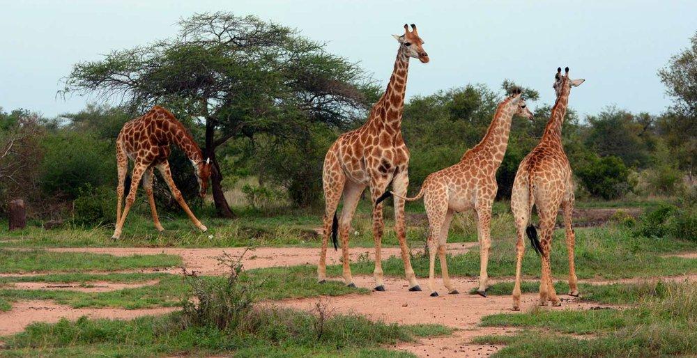 Safari-Index-Cradle-of-Humankind-and-Northern-Safari-Tour-Kruger-National-Park-Wildlife-Giraffes.jpg