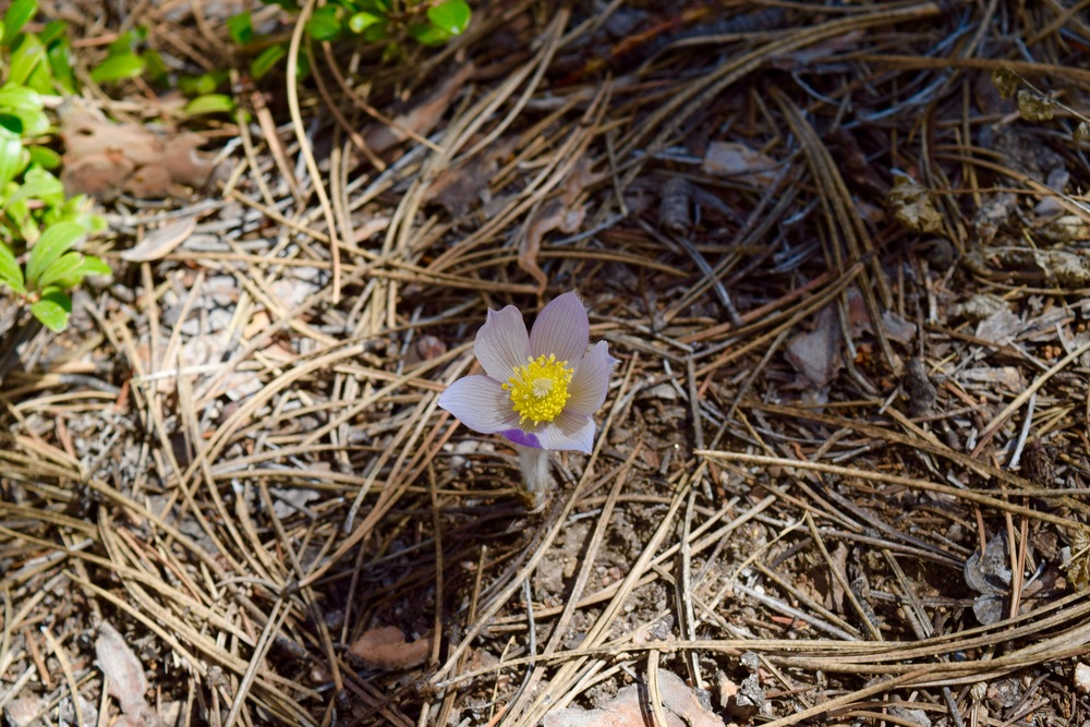 These beautiful pasque flowers were blooming everywhere! There were a bunch at our campsite and all over the trail