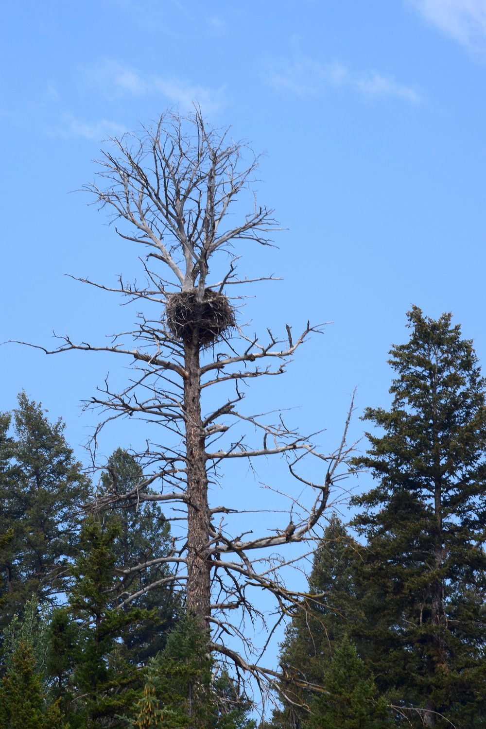 An eagle's nest! Can you spot the adolescent lower down in the tree?