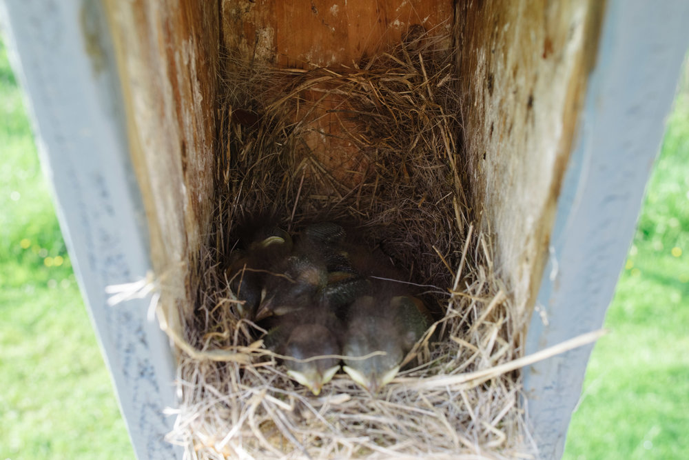 Baby Bluebirds - this will be quite a full nest once the babies are about to fledge!