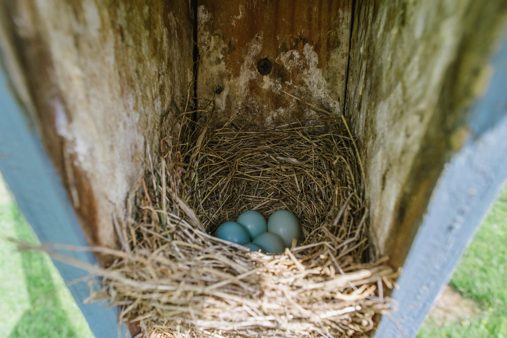 Five bluebird eggs (the color is a bit distorted because it was totally in shadow, but they are a BRILLIANT blue color in real life).