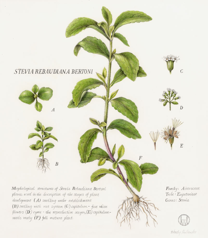Photo from http://sweetgreenfields.com/our-story/about-stevia/