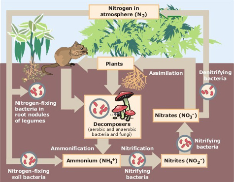 Graphic from by Environmental Protection Agency (http://www.epa.gov/maia/html/nitrogen.html) [Public domain or Public domain], via Wikimedia Commons
