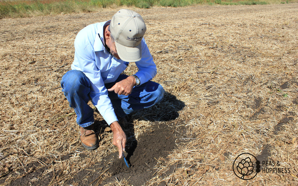 Double-checking the spacing of corn seeds planted in soybean stubble - evidence of no-till farming