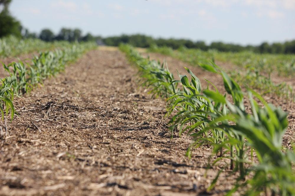 Baby corn crop planted in milo (grain sorghum) stubble