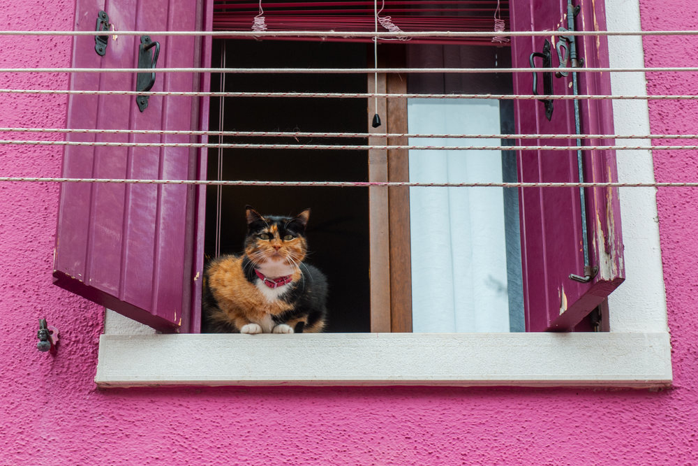 A cat on a window of a violet house in the island of Burano, Venice, Italy.