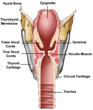 The larynx (or 'voicebox')