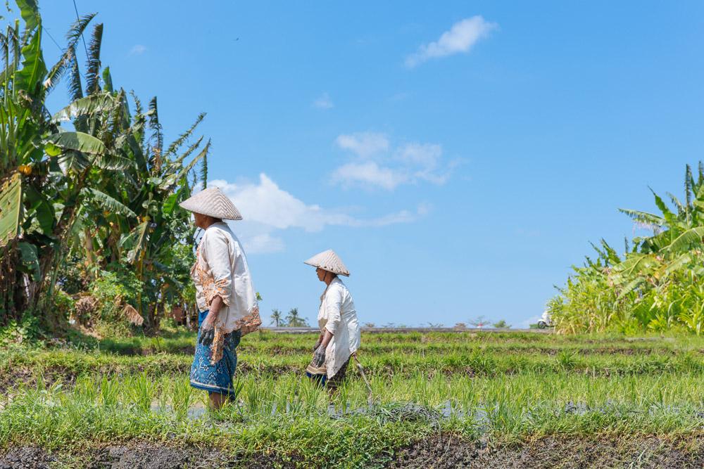 Women working in the rice fields.