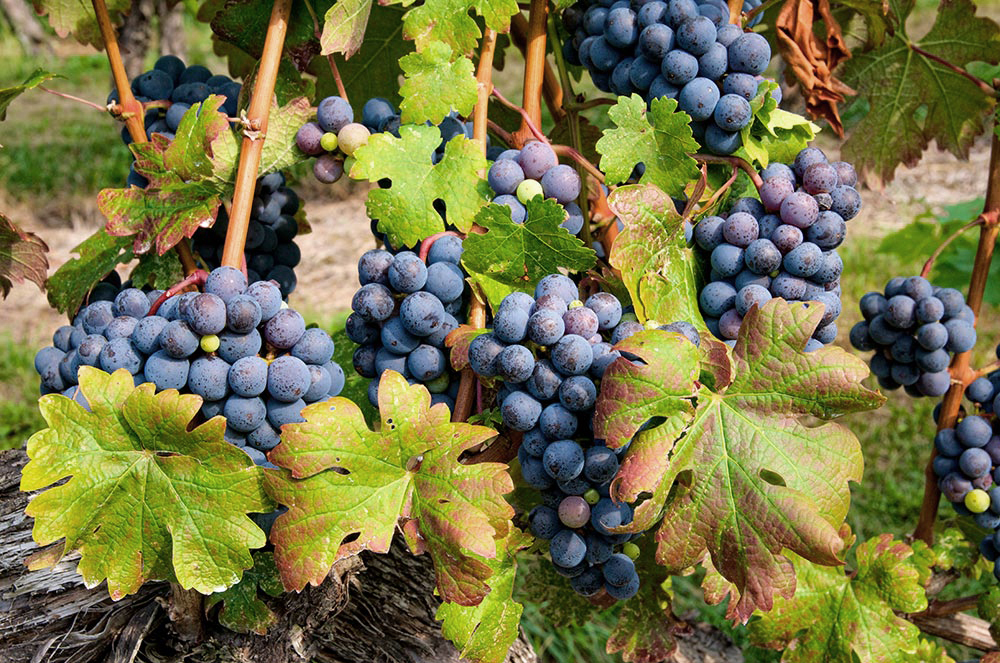 benguela-cove-tasting-room-wine-grapes-hermanus.jpg