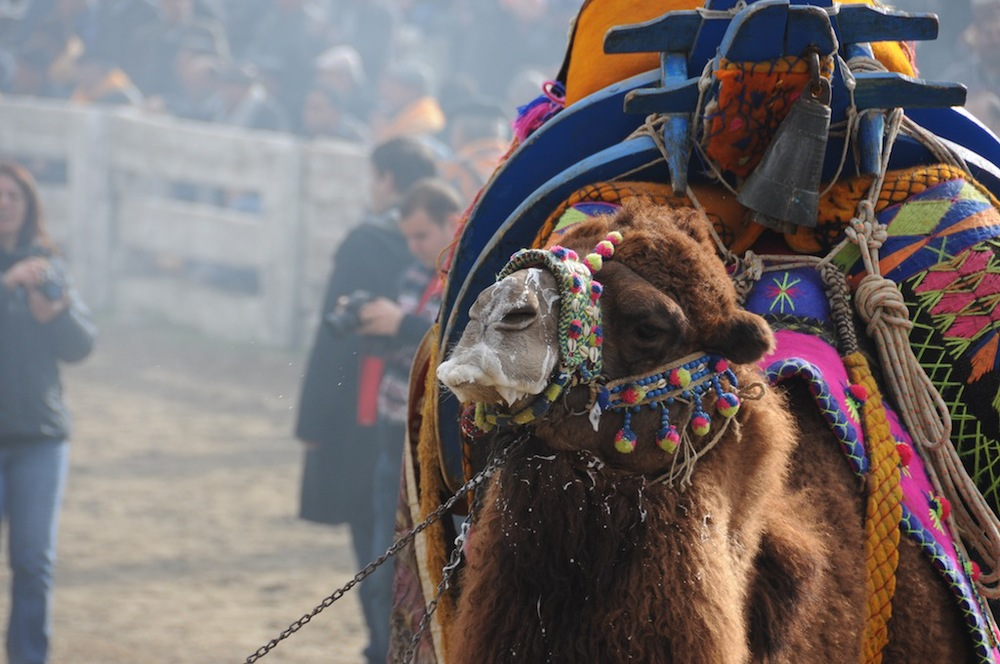 Camel being led into the ring