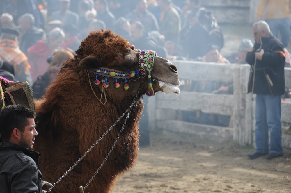 A camel being prepared for a fight