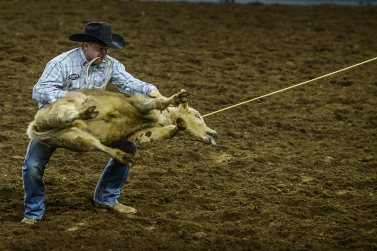 A cowboy throws a steer to the ground to tie it up as part of rodeo wrestling [Felix Gaedtke/Al Jazeera]