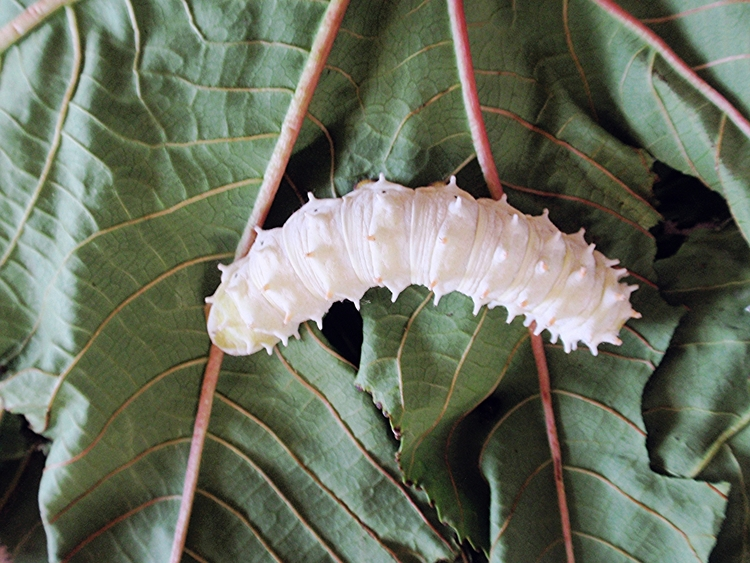Silkworm munching on cocoon