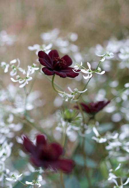 Copy of 4  Danny Coope: Chocolate Cosmos & Euphorbia Diamond Frost